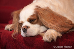 Mandy, a Cavalier King Charles Spaniel, sleeping on the couch on a towel