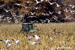 Tractor plowing down corn for Snow Geese and Sandhill Cranes