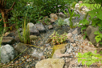 Stream with various pond plants, connecting two ponds in my backyard.  Included are a Bog Plant and Blue Corkscrew Rush.