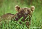 Brown Bear eating grass