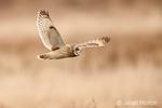 Short-eared owl in flight by Skagit Bay