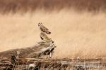 Short-eared owl perched on fallen dead tree