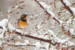 Varied Thrush in snow-covered tree