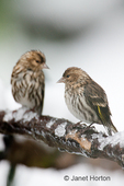 Two male Pine Siskins on an ice-covered branch