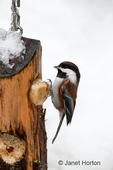 Chestnut-backed Chickadee on snow-covered suet feeder