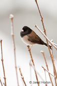 Male Dark-eyed Junco perched on bare, snow-covered branches 