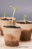 Grey stripe sunflower seedlings growing in three inch peat pots in a studio setting