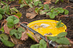 Shallow pan (upside down frisbee) of beer used as organic slug bait and killer in a newly thinned out patch of strawberry plants with a drip irrigation system