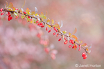 Branch of a Japanese Barberry bush in autumn