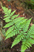 Bracken Fern in a shady yard