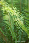 Western Sword Fern in a shady back yard