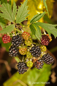 Evergreen blackberries in various stages of ripeness