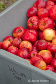 Bin of William's Pride apples for sale at a produce stand