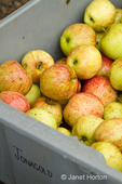 Bin of Jonagold apples for sale at produce stand
