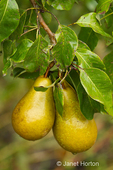 Close-up of Bosc pears growing on a tree