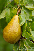 Close-up of a Bosc pear growing on a tree
