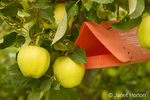 Golden Delicious Apples on the tree and a Biolure Scenturion pest control trap