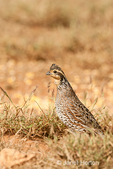 Female Northern Bobwhite walking in the grass