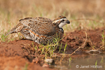 Male Northern Bobwhite drinking water at a small watering hole