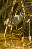 Adult Yellow-crowned Night Heron walking in marsh