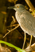 Yellow-crowned Night Heron juvenile in marsh