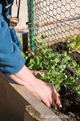 Woman planting snap pea plant seedlings into a raised bed vegetable garden in the spring
