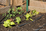 Sugar snap pea and red leaf lettuce seedlings recently planted in the early spring, in a raised bed vegetable garden with drip irrigation