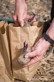 Woman holding Purple Majesty seed potatoes ready to plant