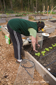Woman planting Russian Banana seed potatoes in a potato cage, beside newly planted leaf lettuce starts, in spring, in a raised bed vegetable garden
