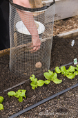 Woman planting Russian Banana seed potatoes in a potato cage in spring, in a raised bed vegetable garden