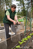 Woman covering newly planted seed potatoes in a potato cage with soil in a raised bed vegetable garden, in spring