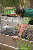 Woman covering newly planted seed potatoes in a potato cage with soil in a raised bed vegetable garden, in spring,