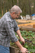 Man weeding and thinning a strawberry garden
