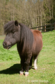 Miniature horse with a long mane in a field