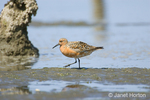 Red Knot walking in shallow water, searching for food, with its reflection in tidepool
