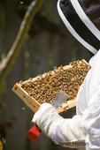 Woman beekeeper checking the health of the honey in a frame