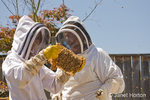 Two women beekeepers checking the health of the honey in a frame