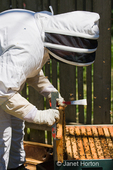 Woman beekeeper inserting a frame covered with honeybees back into the hive