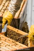Woman beekeeper checking the health of the honeybee hive