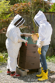 Women beekeepers smoking the top of the Langstroth beehive to allow the beekeepers to tend the hive