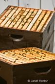 Honeybees on frames in various super levels in a Langstroth beehive