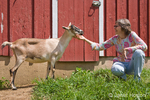 Woman petting alpine mix goat by red barn