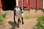 Alpine mix goat standing in front of red barn