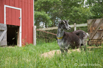 French Alpine goat standing between barn and hay feeder