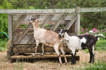 Two Alpine mix goats about to eat out of a hay feeder