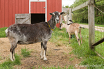 Three dairy goats, a French Alpine and two Alpine mix, in front of red barn
