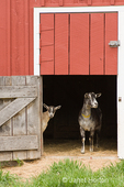 Two dairy goats, a French Alpine and an Alpine mix, standing in barn entrance