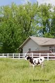 Holstein cow near a farmhouse