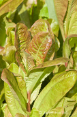 Devil's Tongue heirloom lettuce, a romaine with green leaves overlaid in deep red, growing in a garden 