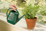 Woman watering a Greek Oregano herb plant which is sitting on a windowsill